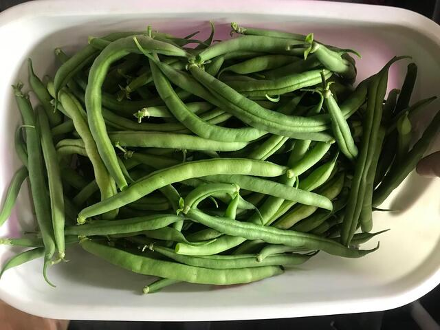 image of a partial harvest of the bean crops within the media bed.