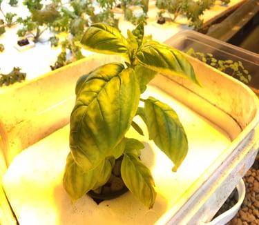Basil in New Nutrient Solution.jpg