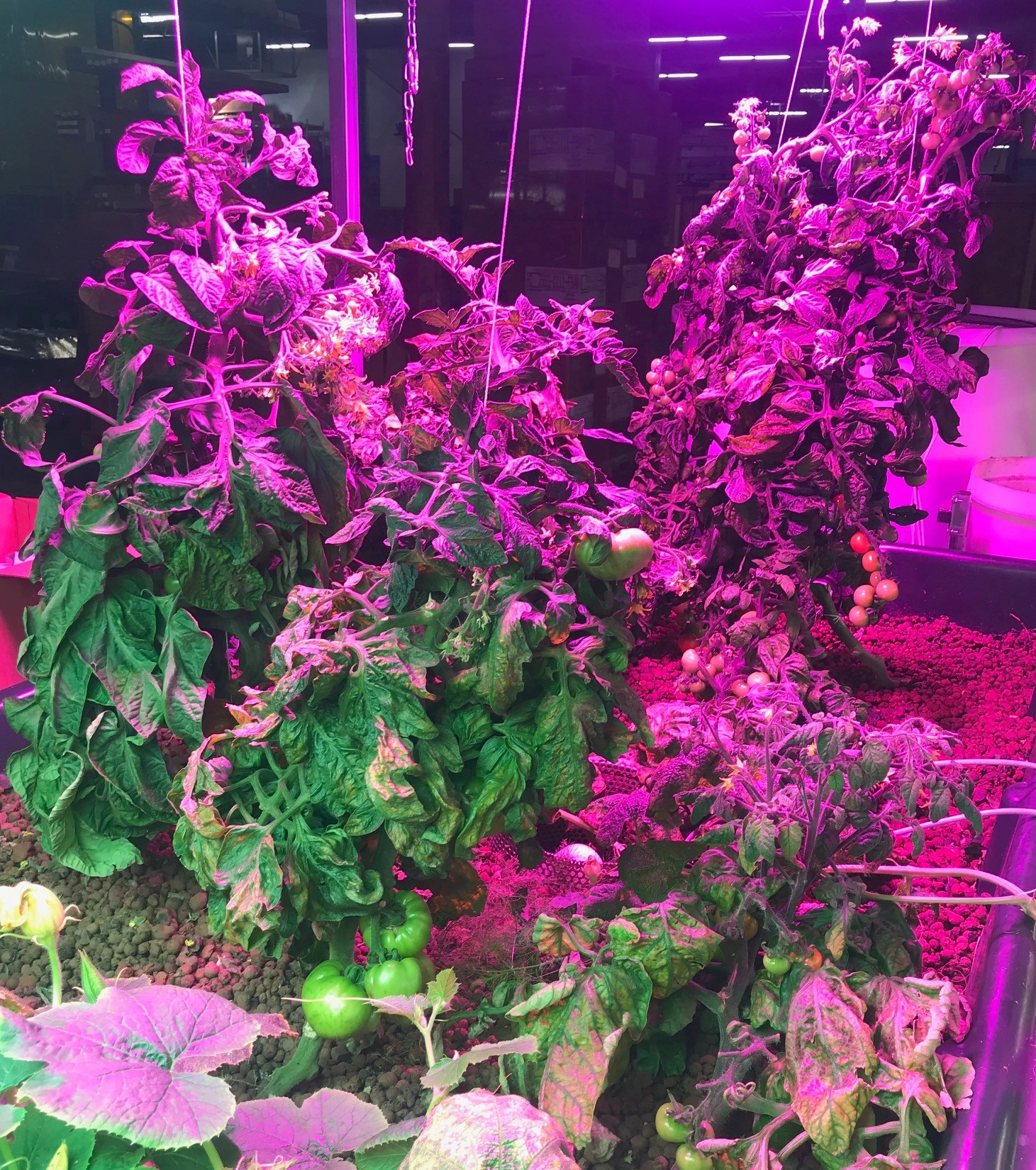 image showing off the full height of the tomatoes which are all fruiting very well in the media bed.