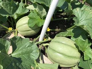 melon left.jpg