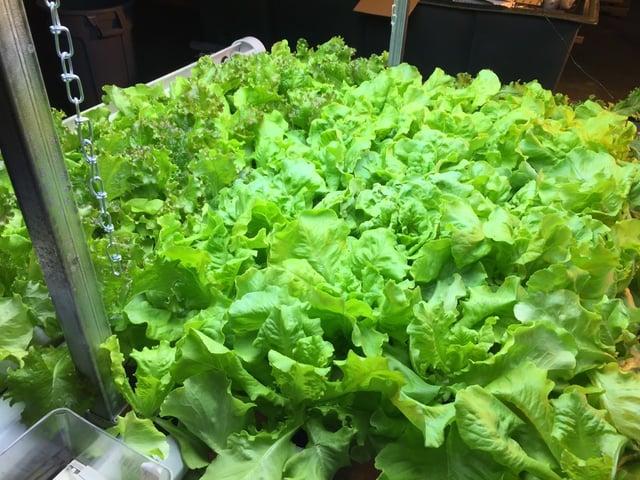 Harvestable_Butterhead_Lettuce.jpg