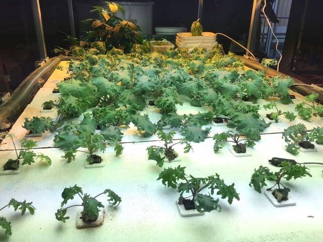Kale in Float Bed-1.jpg