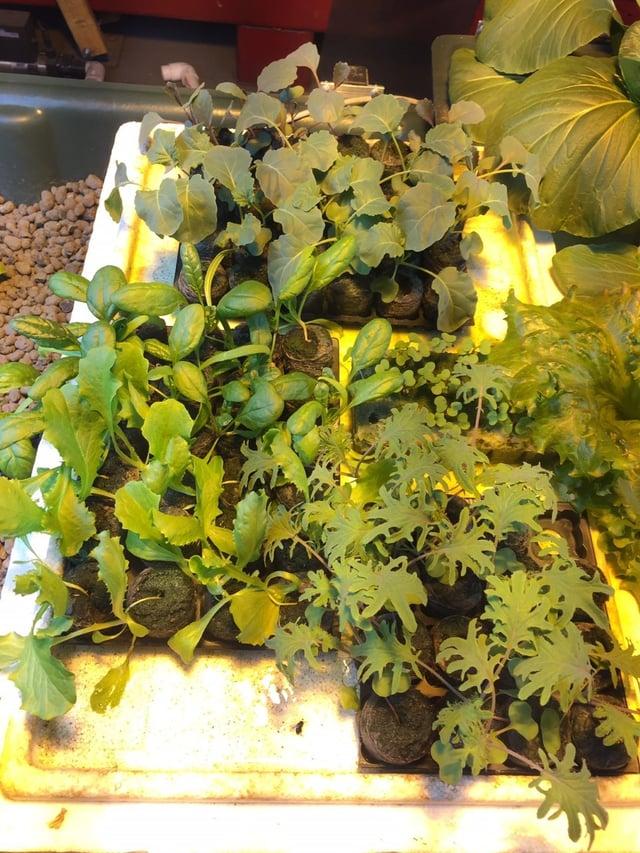 Seedlings for outside planting.jpg
