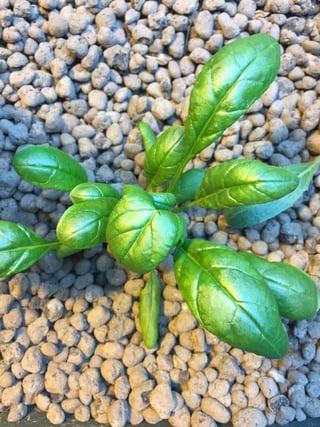 Spinach in Media Bed.jpg
