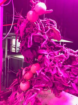 LED_Tomato.jpg