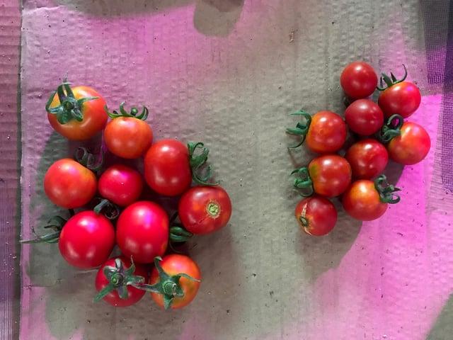 Tomato_yield.jpg