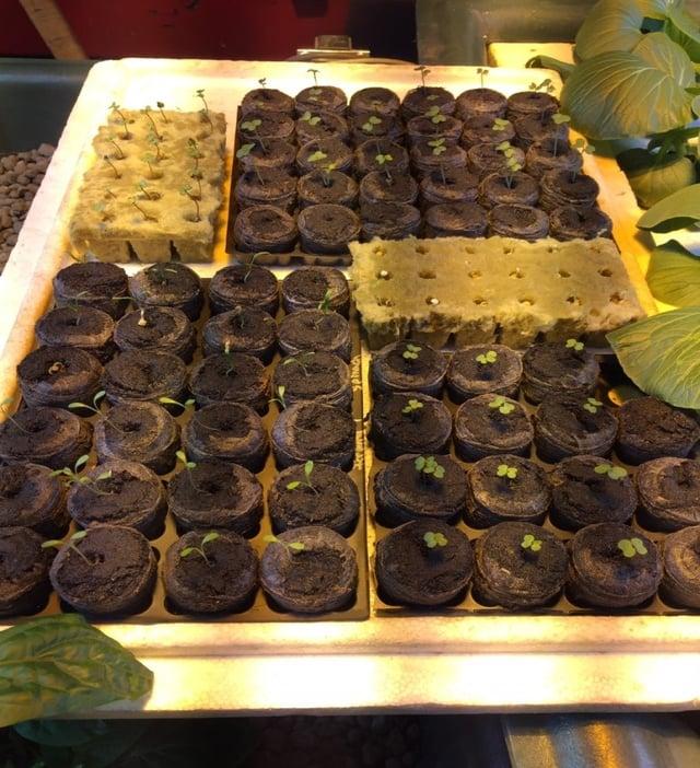 seedlings for outdoor beds.jpg